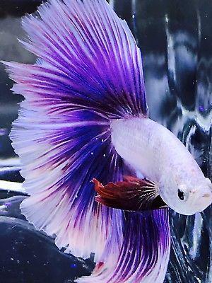 Live Betta Fish Male Import Hm Pink Dragon Lavender Hm Halfmoon 240 Seller Sparklingbettas Betta Fish Betta Aquarium Fish For Sale