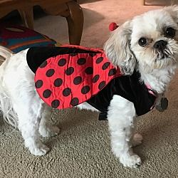 Pictures Of Minnie A Shih Tzu For Adoption In Omaha Ne Who Needs