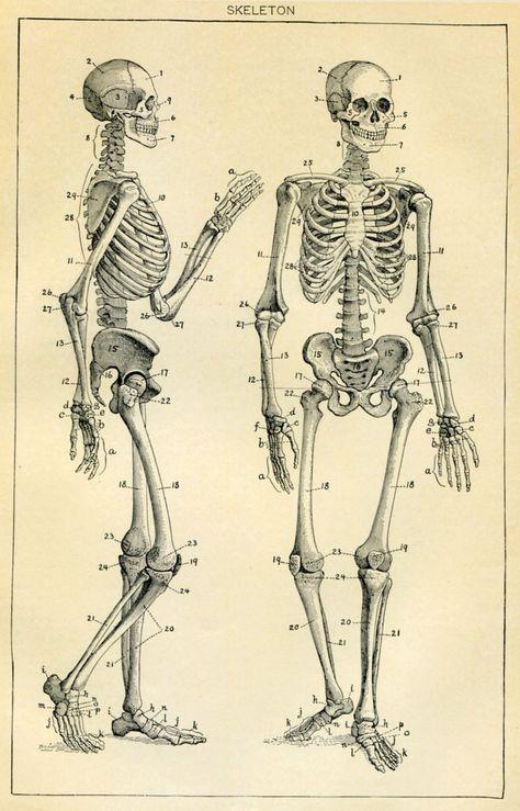 Framed Vintage Medical Print Human Skeleton (Picture Poster Art Anatomy) Related posts: Framed Print – Vintage Muscle Structure of. Human Skeleton Anatomy, Human Anatomy Drawing, Body Drawing, Figure Drawing, Drawing Faces, Drawing Tips, Human Anatomy Picture, Skeleton Drawings, Skeleton Art