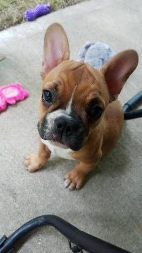 French Bulldog Puppies For Sale 367 2puppies Com Frenchbulldogs