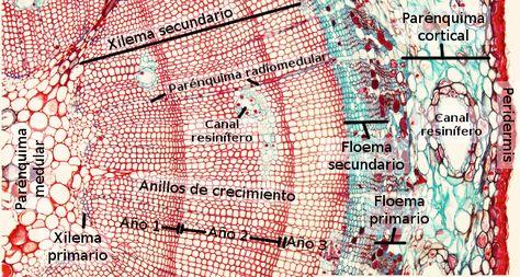 La Sangre De Las Plantas El Xilema El Floema Y La Savia