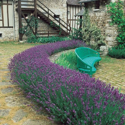 One of the best kinds for growing in B.C. (will overwinter) Lavandula 'Munstead Dwarf'