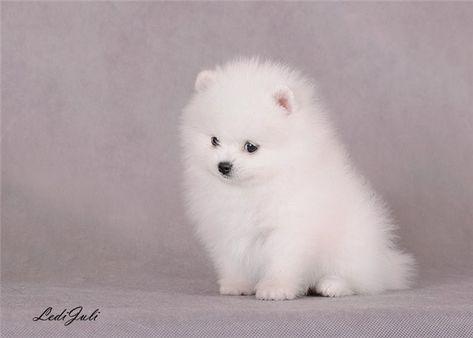 boo nain | Les spitz nain et petit couleur Blanc - Elevage De Little Boudha