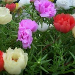 Portulaca Flowers Seeds Portulaca Grandiflora Mix Known In The Caribbean As 10 O Clock Flowers Display Of Long Lasting Tropical Color Flores Para Jardin Jardineria En Macetas Flores