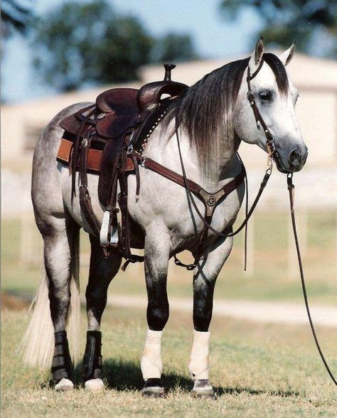 Grey quarter horse--I will have me a grey horse someday :) All The Pretty Horses, Beautiful Horses, Animals Beautiful, Horse Photos, Horse Pictures, American Quarter Horse, Quarter Horses, Reining Horses, Draft Horses