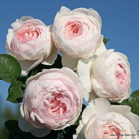 Artikelbild 1 des Artikels Herzogin Christiana ®️️ - Kordes' Rose