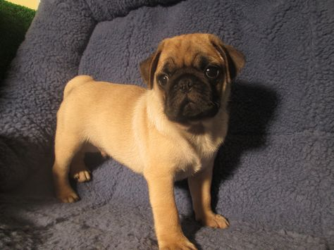 Adorable Sweet Pug Puppies Available 8 12 Weeks Of Age