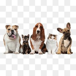 Gato Png Images Vetores E Arquivos Psd Download Gratis Em Pngtree Pets Cat Clipart Cat Background