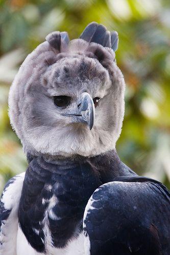 Harpy Eagle - Yes it kills monkeys