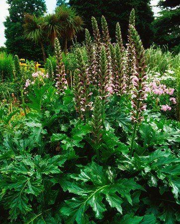 Wahrer Barenklau Acanthus Mollis Blattpflanzen Garten Pflanzen