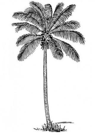 gambar sketsa pohon kelapa penelusuran google sketsa gambar kelapa gambar sketsa pohon kelapa