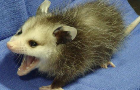 Possum Every Hour в Твиттере: «… »