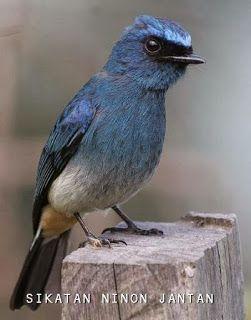 Selendang Biru Alias Tledekan Biru Old World Flycatcher Passerine Bird