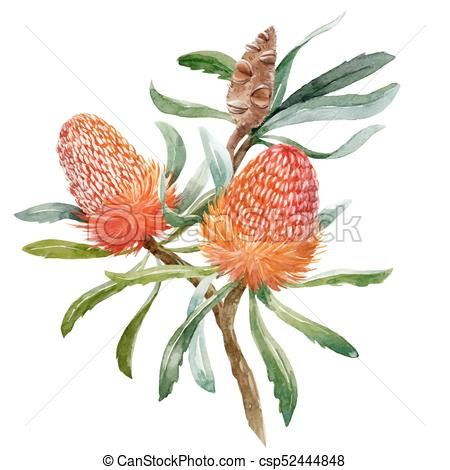 Watercolor Banksia Flower Vector Composition Vector Stock Illustration Royalty Free I Flower Illustration Tree Watercolor Painting Australian Native Flowers