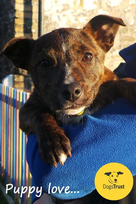Holly At Dogs Trust Bridgend Is A 4 Month Old Staffy X Collie Who Has A Ton Of Energy To See All Our Dogs Looking For Dogs For Adoption Uk Dogs