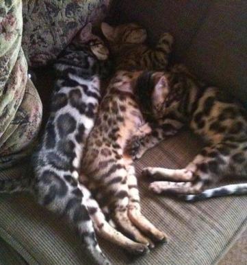 Bengal kitten for sale louisiana