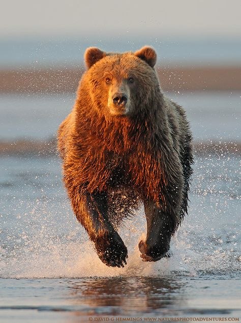 Alaska Brown Bear 2 by Nature's Photo Adventures - David G Hemmings