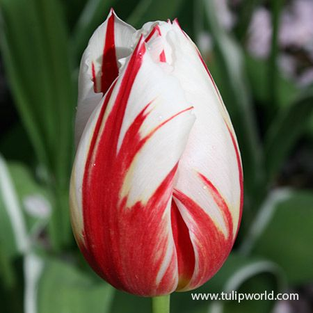 Pin On Parkinsons Tulip