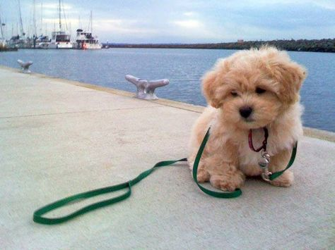 I decided I want to get a shichon. It's a mix between a bichon frise and a shih tzu Really Cute Puppies, Cute Dogs And Puppies, I Love Dogs, Doggies, Maltipoo Dog, Cavapoo, Havanese, Labradoodle, Animals And Pets