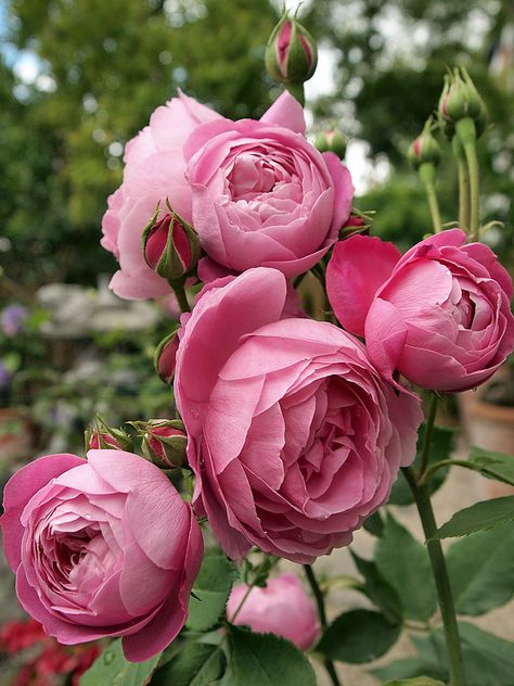 Reine Victoria (Bourbon) 1872. The wonderfully fragrant cupped pink blooms of this regal beauty will brighten your garden from early spring through fall. They also make excellent cut flowers. The plant is quite hardy, growing 6 to 7 feet tall. An old fashioned classic. Photo by Osakana Feelingood, via Flickr.