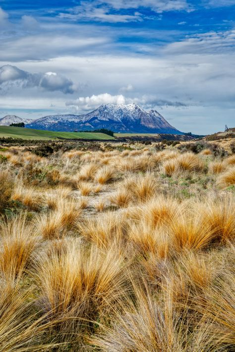 Summer tussocks and the Southern Alps in Central Otago.
