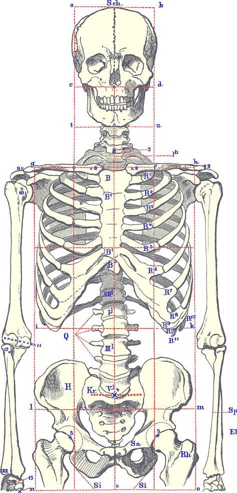 SkeletonBodyFront