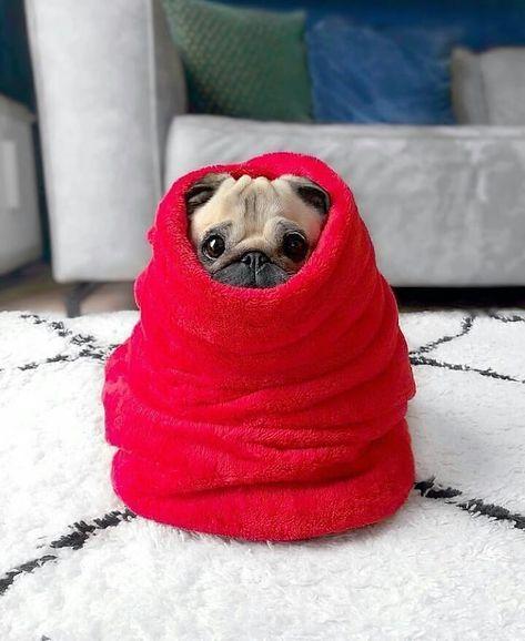 "Pug Lover 🐕 🐾 on Instagram: ""Baby Yoda 😍❤️ . Follow @pawsomepug for more . Credits @pugloulou . #pugsofinstagram #pugsnotdrugs #pugsandkisses #smilingpugs #pugslife…"""