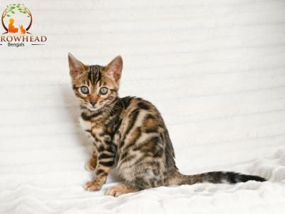 Rosette And Marble Litter Male Female Bengal Kittens For Sale In Ohio United States Profile Id 29 Bengal Kittens For Sale Pet Websites Cats And Kittens