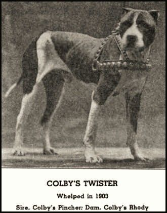 Colby S Twister Pit Dog Dog Games Dog Line