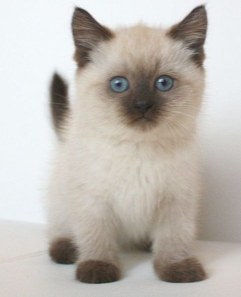A Look At Siamese Cats Cute Cats Photos Cute Cats Siamese Cats For Sale