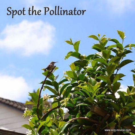 Eco-novice: Nature in Our Backyard: Hummingbird Chicks Leaving the Nest #spotthepollinator