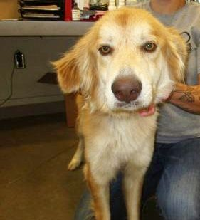 Golden Retriever Dog For Adoption In Pampa Tx Usa Adn 1054769