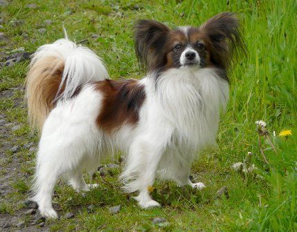 Dog Breeds That Don T Smell Or Stink In 2020 Friendly Dog Breeds Dog Breeds Papillon Dog