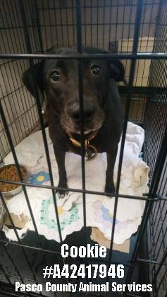 Urgent Plea Cookie Is A Female Black Labrador Retriever She Weighs 54 Pounds And Is Estimated To Be 2 4 Years Old Black Labrador Retriever Dog Adoption Dogs