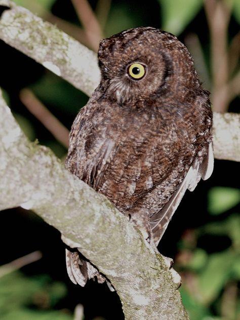 Anjouan Scops Owl (Otus capnodes). Photo by Alan Van Norman.