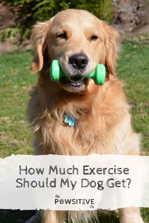 How Much Exercise Should My Dog Get Dogs Great Dane Puppy Dog