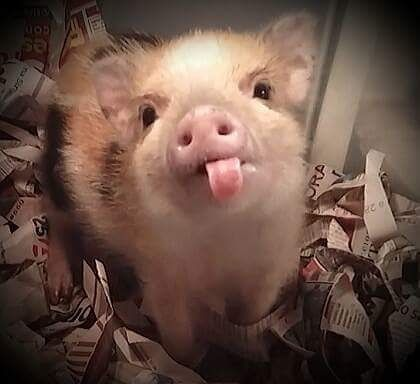 Memes brasileiros bom dia New Ideas Baby Animals Pictures, Cute Animal Pictures, Animals And Pets, Baby Farm Animals, Cute Baby Pigs, Cute Piglets, Baby Piglets, Cute Little Animals, Cute Funny Animals
