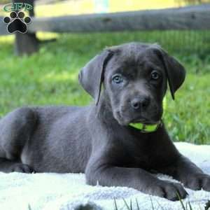 Cane Corso Puppies For Sale Cane Corso Dog Breed Info In 2020