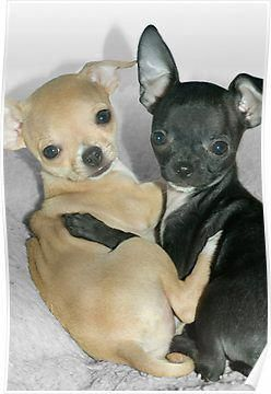 Pin By Babycakes Ky On Pets In 2020 Cute Dogs Chihuahua