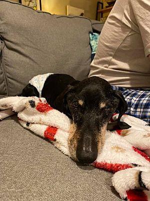 Greensboro Nc Dachshund Meet King Louis A Pet For Adoption