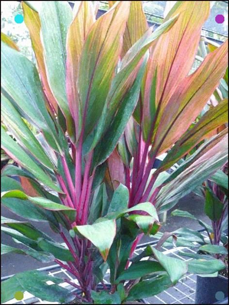 Cordyline Jackie 3g Plants Cool Plants Tropical Landscaping