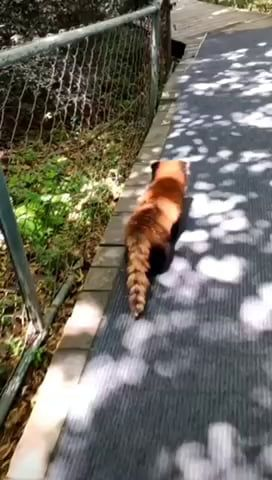 This red panda