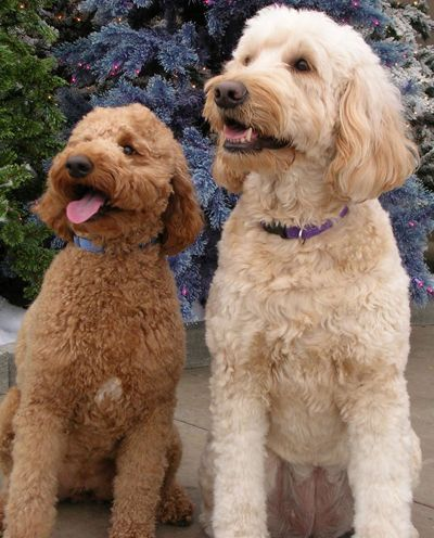 Mini Goldendoodle Vs Mini Labradoodle Mini Goldendoodle Labradoodle Goldendoodle Goldendoodle