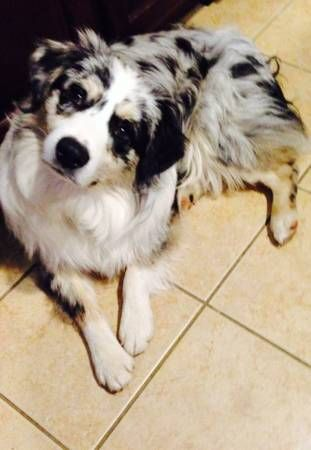 Stunning 1 Yr Old Blue Merle Male Aussie Looking For Forver Home