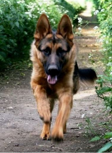 German Shepherd Dogs Shepherd