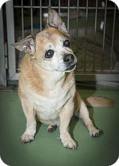 Harry is a senior Pug/Corgi (Porgi?!) mix up for adoption from the Humane Society of New York. For more info: http://www.adoptapet.com/pet/12292098-new-york-new-york-pug-mix