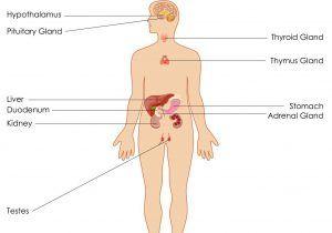 Diagrams Organization Of The Human Body Endocrine System Endocrine Endocrine System Hormones