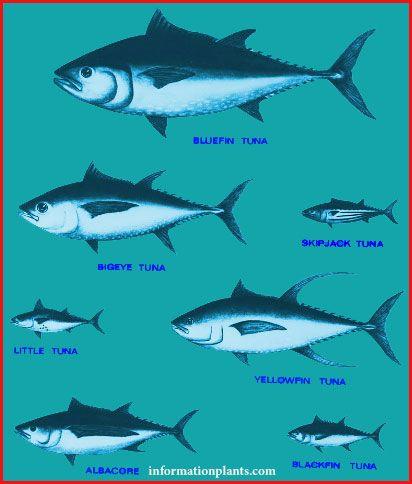 سمك التونة وانواعه قسم انواع الاسماك سمك انواع الاسماك مع الصور الموقع الزراعي ومنوعات اخرى Animals Fish Whale