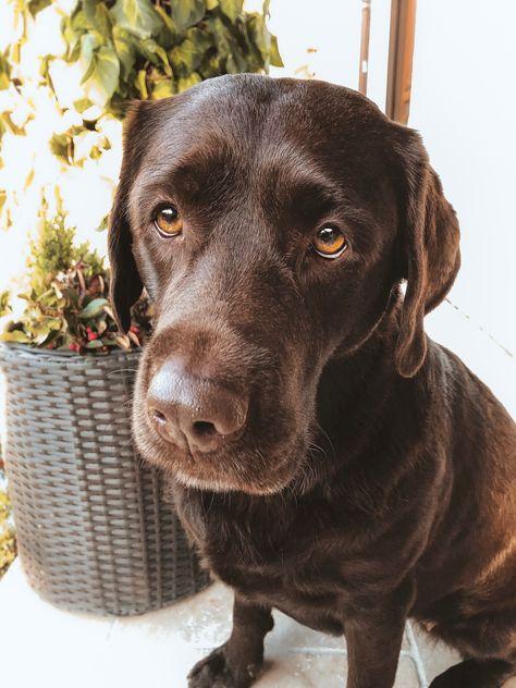 Pin Von Lotte Ally Auf Labrador Retriever Hunde