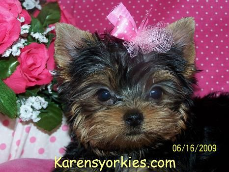 Yorkies For Sale Yorky Breeder Yorky Puppies Yorkshire Terrier Yorkshire Terriers For Sale Teacup Yor With Images Yorkie Puppy For Sale Yorkie Puppy Yorkshire Terrier